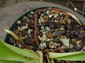 フラグミペディウム コバチーの栽培 根が・・・・・