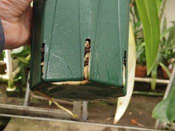 フラグミペディウム コバチーの栽培 鉢底から根が