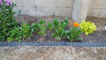 ✔ ダイソーの大輪きんせん花を種から育てる 2020/4/9 花壇組開花開始