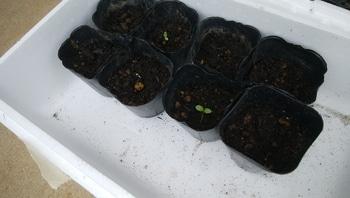 ダイソーの大輪きんせん花を種から育てる 2019/9/21 発芽が始まりました。