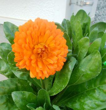 ダイソーの大輪きんせん花を種から育てる