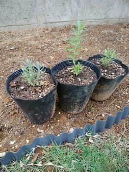 ダイソーラベンダーを種から育てる