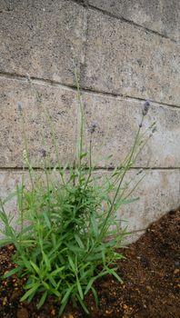 ✔ ダイソーラベンダーを種から育てる