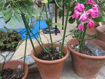 外壁工事、剪定後の挿し木たち つるバラ一年生