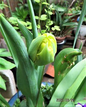 球根を育てて春を待つ🎶 黄色のチューリップ