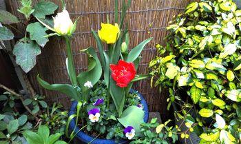 球根を育てて春を待つ🎶 開花が進んでいます