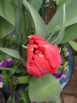 球根を育てて春を待つ🎶 赤花チューリップ