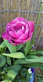球根を育てて春を待つ🎶 次の開花はピンク色です