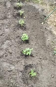 秋きゅうり~種子から! 地植え