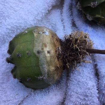 「大豪丸」エキノプシス属 ✂ヒゲ根を切り詰め一応消石灰を塗る。