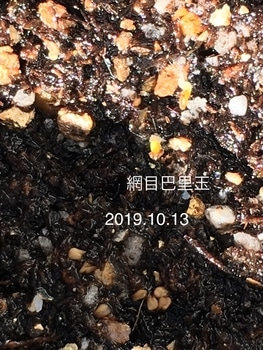 網目巴里玉の実生チャレンジ♬ 2019.10.13 発芽!