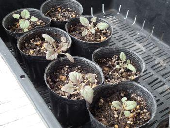 ファセリア リベンジの種まき 少し成長