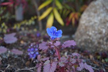 ファセリア リベンジの種まき 開花