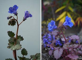 ファセリア リベンジの種まき 開花が続く