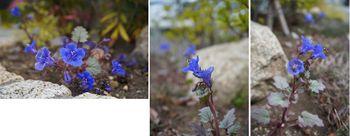 ファセリア リベンジの種まき さらに開花