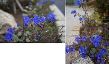 ファセリア リベンジの種まき 開花から一ヶ月(花壇)