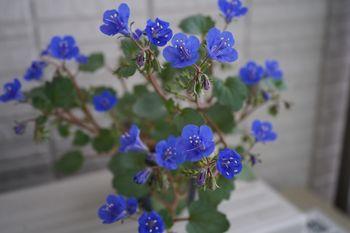 ファセリア リベンジの種まき 開花から一ヶ月(ベランダ)