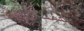 ファセリア リベンジの種まき 開花から二か月(花壇)