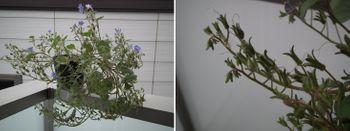 ファセリア リベンジの種まき 開花から二か月(ベランダ)