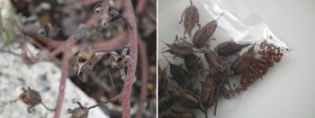 ファセリア リベンジの種まき 種の採取