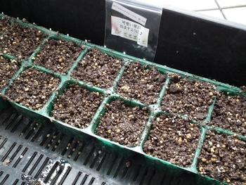 ファセリア リベンジの種まき 種まき