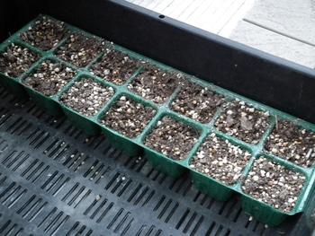 ファセリア リベンジの種まき 芽が出ない