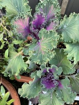 はじめての葉牡丹 紫が多い…