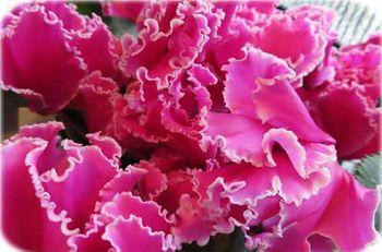 鉢植えシクラメンの植え替え 元気いっぱいの花盛り…