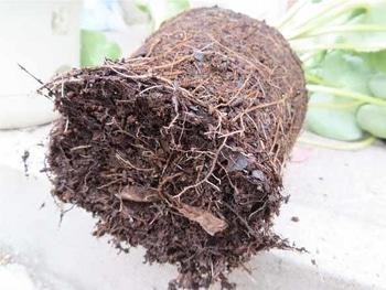 鉢植えシクラメンの植え替え シクラメンの底部をほぐすと…