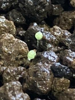 多肉初心者が種からブルゲリをそだててみる まだ発芽しそう🌱