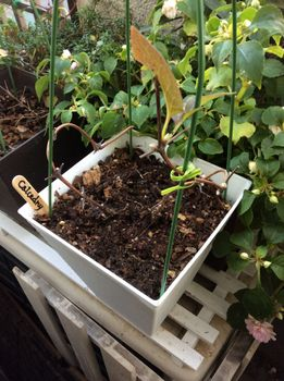 旧枝咲きクレマチス・カルセドニー、初めての開花をめざして 12月末 冬の植え替え