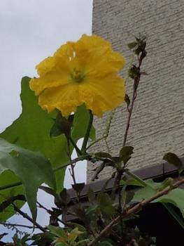 娘が学校から貰ってきたヘチマ 花が咲いてる