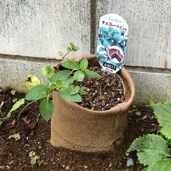 ミント2種挿し木 地下茎もりもり