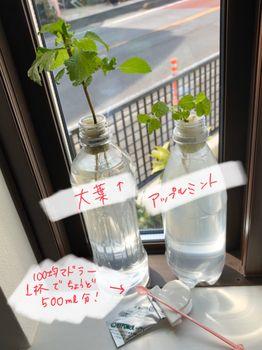 ミント2種挿し木 2020.3.1ペットボトル交換