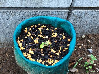 ミント2種挿し木 培養土へ、そして外へ
