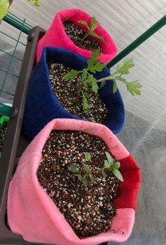 ミント2種挿し木 挿し芽