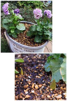 バレンタインの頃にシックなチューリップ🌷を咲かせたい(早期開花) 比較; 同時植え付け 屋外管理の鉢_発芽