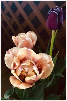 バレンタインの頃にシックなチューリップ🌷を咲かせたい(早期開花)