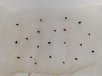 ネモフィラ💠種から水耕栽培 催芽まき