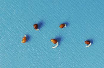 ネモフィラ💠種から水耕栽培 発根を確認