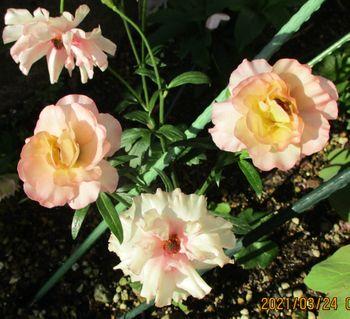 2020/1/4 ラックス・アリアドネの観察記録 3/24 開花したばかりの花