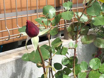 赤バラ/ベルサイユのばら/エディブルフラワー ガクが開く