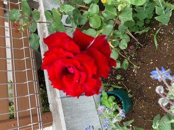 赤バラ/ベルサイユのばら/エディブルフラワー さらに咲き進む