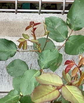 赤バラ/ベルサイユのばら/エディブルフラワー 2番花の枝