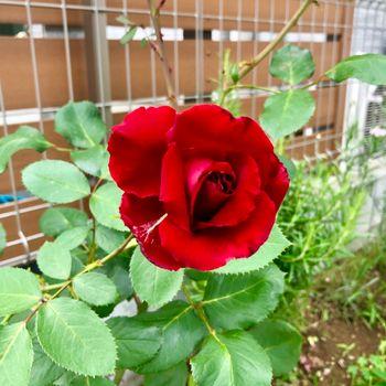 赤バラ/ベルサイユのばら/エディブルフラワー 2輪目咲いた!