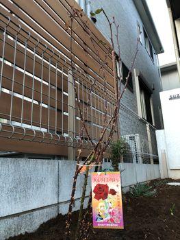 赤バラ/ベルサイユのばら/エディブルフラワー 2020.01.16植え付け