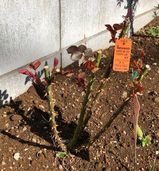 赤バラ/ベルサイユのばら/エディブルフラワー 2020.3.6芽もりもりー