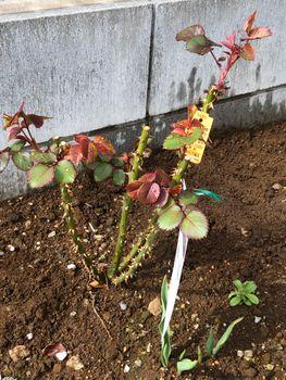 赤バラ/ベルサイユのばら/エディブルフラワー 芽かき
