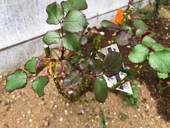 赤バラ/ベルサイユのばら/エディブルフラワー 虫食いと葉の曲がり