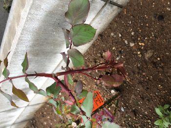 赤バラ/ベルサイユのばら/エディブルフラワー 新芽が雪の被害